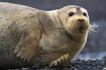 Три арктических животных, которым грозит вымирание из-за изменения климата