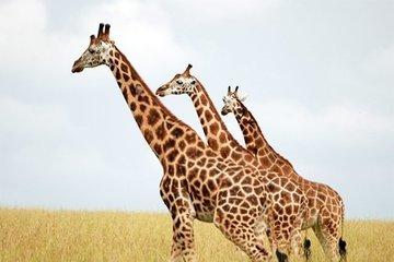 Пятна на теле жирафа помогают ему выжить в первые месяцы жизни