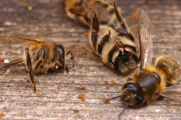Пестициды вредят пчелам
