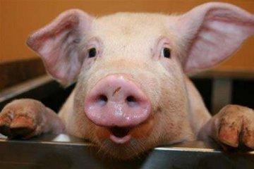Свинья: самое умное домашнее животное