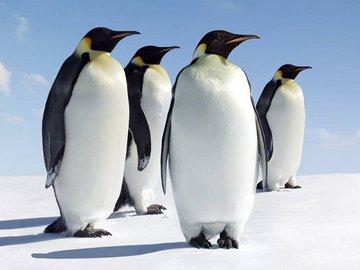 Древние пингвины были